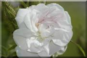 Rosier Quatre Saisons Blanc Mousseux