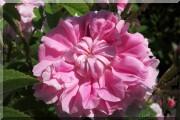 Rosier Trigintipetala (`Rose von Kazanlik`)