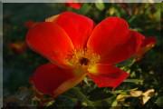 Rosier Foetida Bicolor