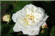 Rosier Weiße Gruß an Aachen