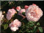 Rosier Rosa Gruß an Aachen