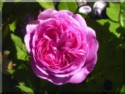 Roses historiques