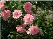 Roses contemporaines de patios, couvre-sol et ruffles