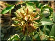 Rosier Viridiflora