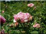 Rosier Honorine de Brabant