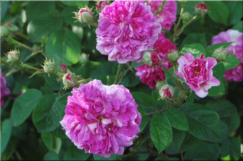 Russeliana rosiers grimpants et rosiers lianes 12 50 - Taille rosier liane ...
