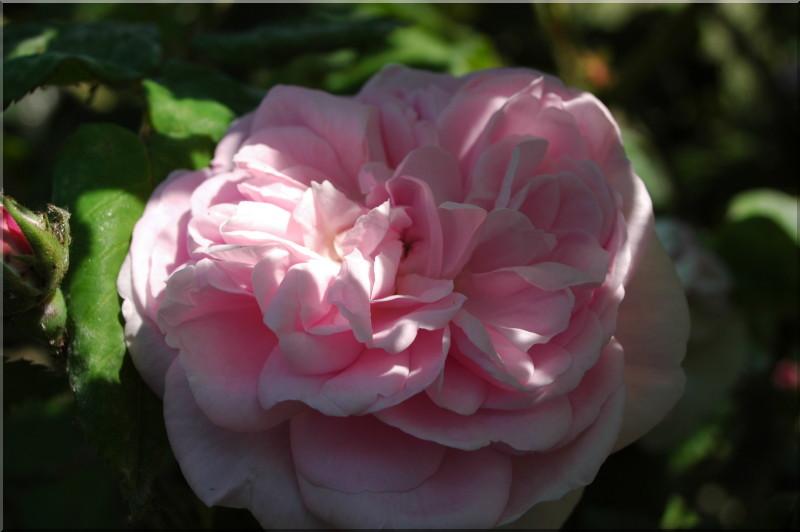fantin latour rosa centifolia 11 50 20 50 histoires de. Black Bedroom Furniture Sets. Home Design Ideas