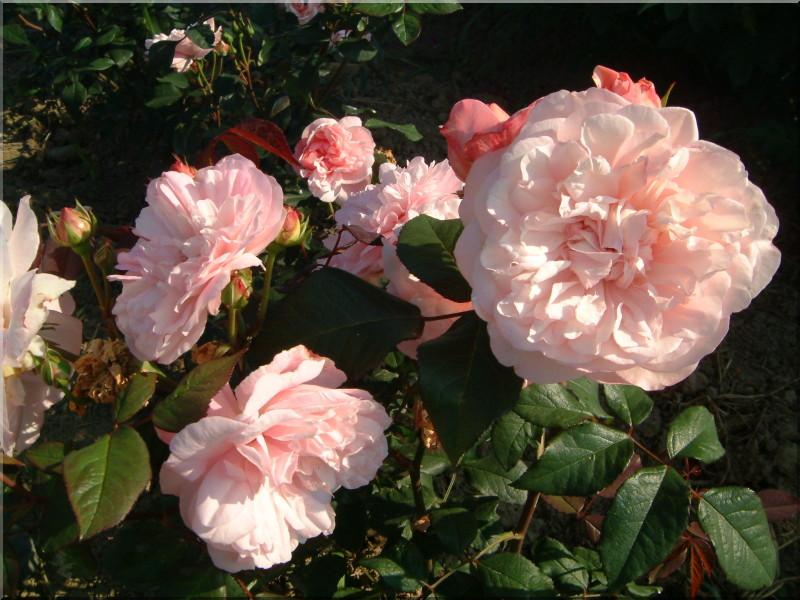 rosa gru an aachen rose polyantha 11 50 20 50. Black Bedroom Furniture Sets. Home Design Ideas