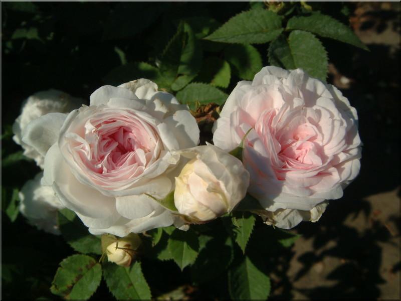 Роза felicite parmentier