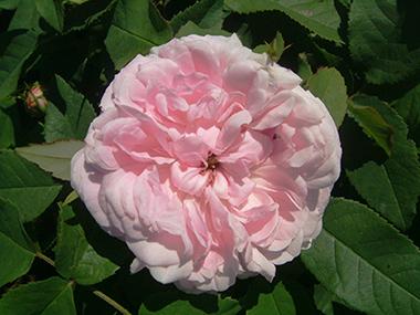 Rosa Portlandica-Gruppen 'Jacques Cartier'