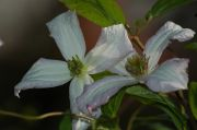 Clematis viticella 'Little Nell'