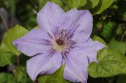 Clematis 'Princess of Wales'